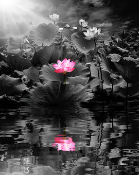 Beautiful lotus flower in blooming and sun shines