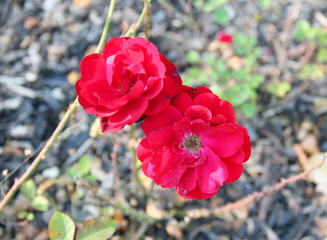 two crimson red blooms of roses