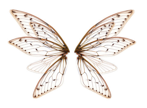 wings of Insect cicada on white bacground