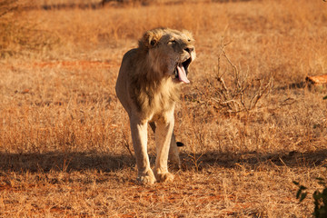 Wild lion showing some teeth in Kenya, Africa