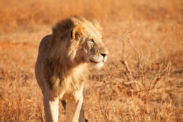 Lion lit up by the early morning light in Kenya, Africa