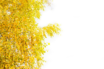 Autumn yellow leaves on a white background. Place for inscription