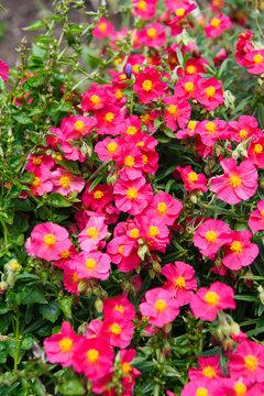 helianthemum watergate ruby pink