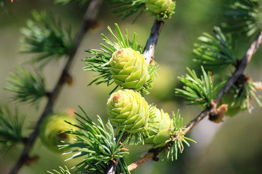 green small pine cones