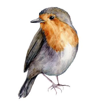 Watercolor robin. Hand painted Christmas bird isolated on white background. Holiday nature illustration for design, print or background.
