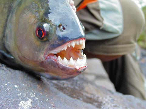 Amazon Black Piranha with exposed teeth