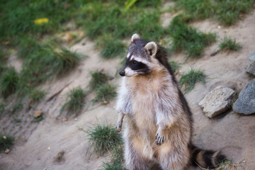 View of standing adult female lotor common raccoon (procyon lotor)