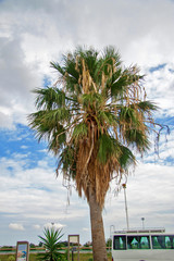 Date palm tree against blue sky with white clouds