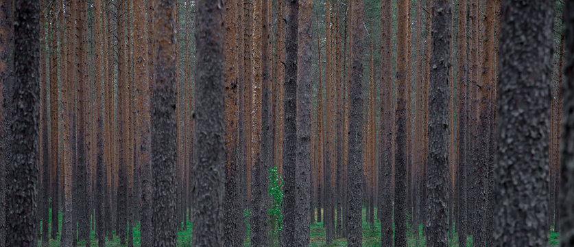 slender trees deep in the pine forest