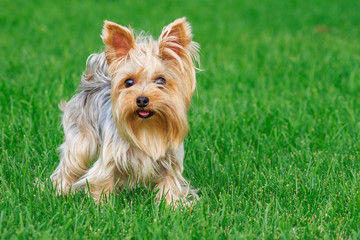 dog breed Yorkshire Terrier in the park on a green lawn