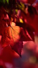 Red maple leaf isolated by late light afternoon.