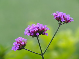 Verbena Bonariensis is a purple flower, which is a Tinted Violet in the year 2018.