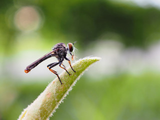 Robber fly on top of the leaf and its bait in the mouth. Blurred green natural background