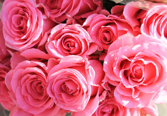 Texture with pale pink roses