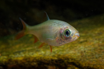 Golden Orfe - Leuciscus idus  freshwater fish of the family Cyprinidae found in larger rivers, ponds, and lakes across northern Europe