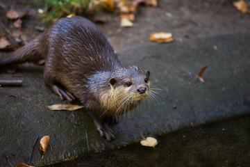 Portrait of eurasian otter (Lutra lutra)
