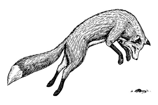 Soaring red fox. Wild forest animal jumping up. Food search concept. Vintage style. Engraved hand drawn sketch.