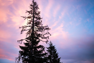 Pine tree silhouetted by sunset, Mammoth Lakes, California