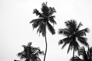 black and white palm trees on white isolate background