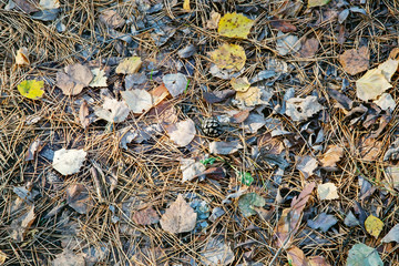 Autumn background. fallen cones, needles and leaves in the forest.