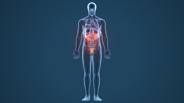 3d illustration human body kindeys of a human body part