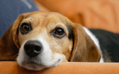 Headshot of beagle dog laying on sofa in apartment