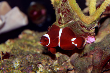Red Maroon clownfish in isolated scene moment in saltwater reef aquarium tank