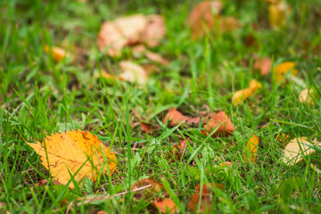 Yellow leaves in green grass is close