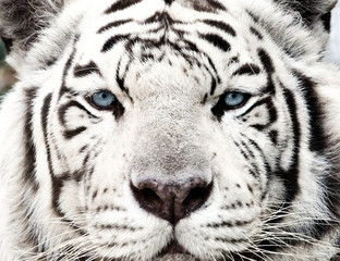 Wall Murals Panther Bengal White Tiger Close Up (Panthera tigris tigris)