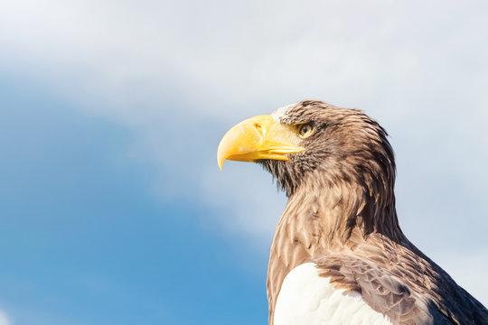 Steller's sea eagle portrait (Haliaeetus pelagicus)
