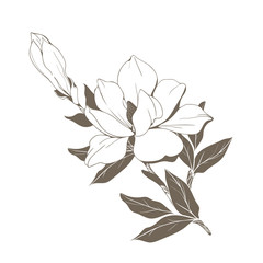 Magnolia flowers and buds on white. Vector illustration