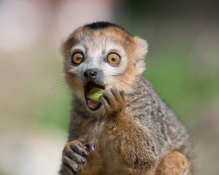 Portrait of eating crowned lemur with eyes wide open
