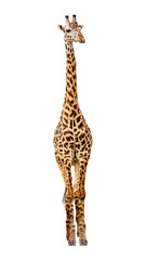 Giraffe Facing Forward Extracted