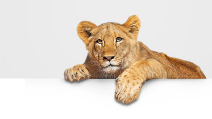 Lion Cub Hanging Over White Web Banner