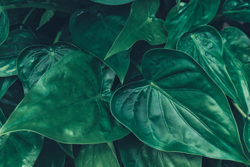 Background with dark green tropical leaves,Close up green leaves background.