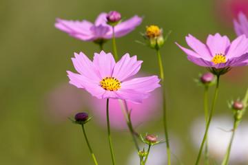 Cosmos flowers / shooting place is Kazo city Saitama prefecture, Japan