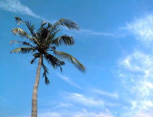 coconut tree on the blue sky