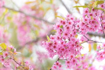 Fotomurales - Pink sakura flower bloom in spring season. Vintage sweet cherry blossom soft tone texture background.