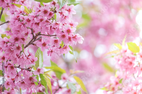 Wall mural Pink sakura flower bloom in spring season. Vintage sweet cherry blossom soft tone texture background.
