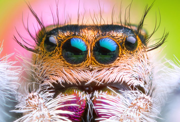 extreme magnified jumping spider head and eyes