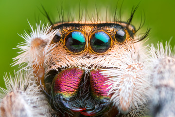 Stores photo Croquis dessinés à la main des animaux extreme magnified jumping spider head and eyes