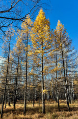 Wall Mural - yellow larch trees illuminated by the sun in the autumn forest