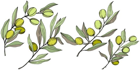 Olive tree in a vector style isolated. Green engraved ink art. Full name of the plant: Branches of an olive tree. Vector olive tree for background, texture, wrapper pattern, frame or border.