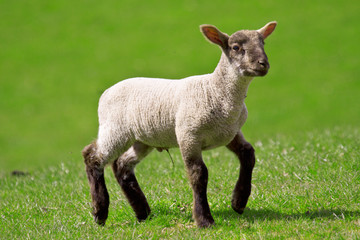 Young lamb, white with black legs and face