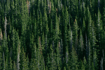 Evergreens in Colorado Rocky Mountains