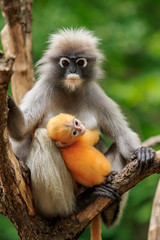 baby dusky leaf monkey and mom in tropical wilderness thailand