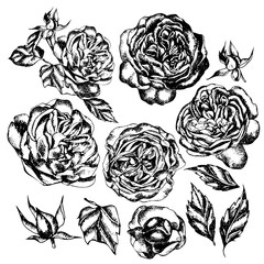 Beautiful graphic set with flowers rose and leaves.