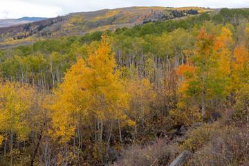 Golden aspen covered mountain hillside