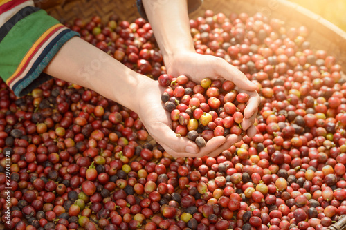 Woman's hands holding raw coffee beans, Thailand
