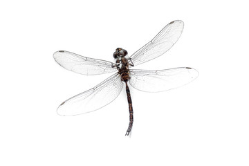 Close-up Eye Dragonfly stuffed  isolated on white background,top view